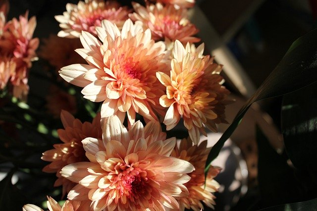 chrysanthemum-5431593_640