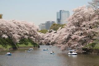 Chidori-gafuchi - cerisiers en fleurs