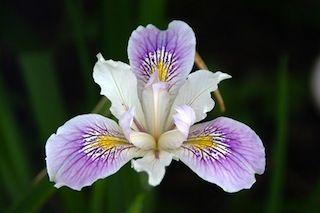 Iris du Sanctuaire Meiji de Tokyo